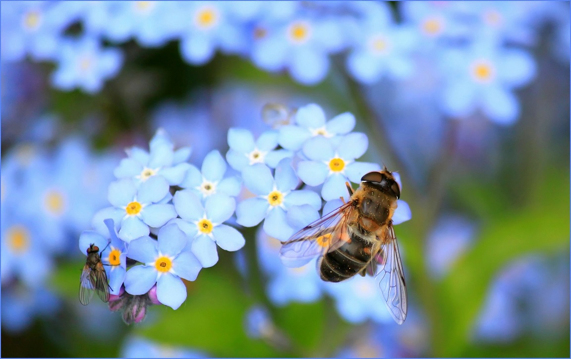Honey bee on a forget-me-not.