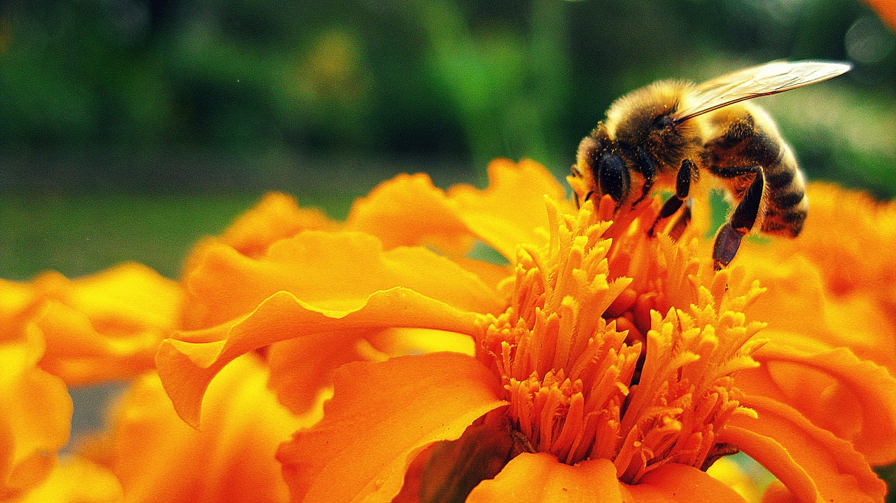 Honey bee on an orange flower.