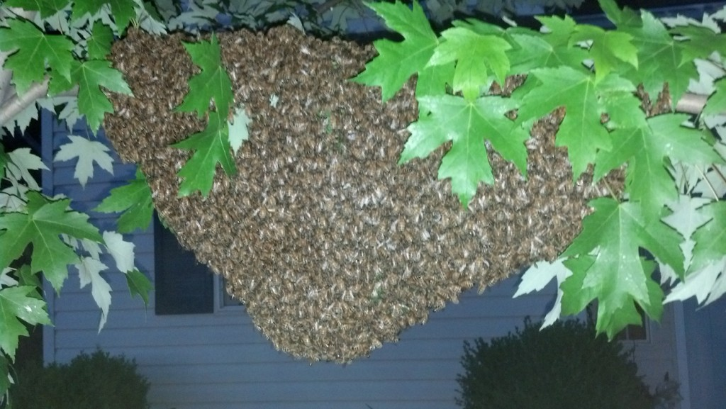 A swarm of bees in a tree.